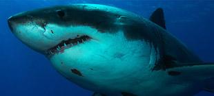 Shark profiles
