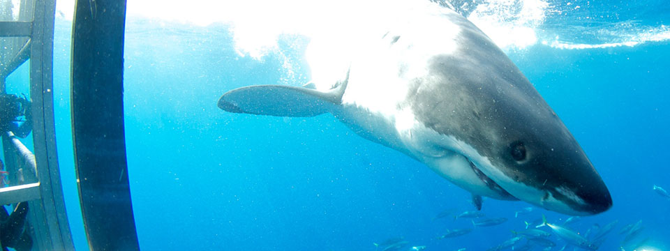 Guadalupe great white shark diving