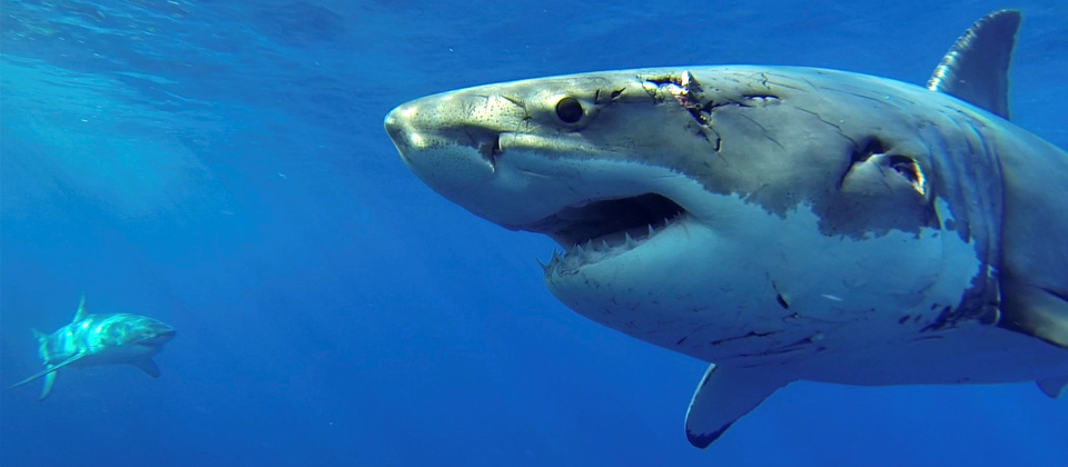 IMAGE: http://sharkdivingxperts.com/wp-content/uploads/2015/05/emma-great-white-shark-feature.jpg