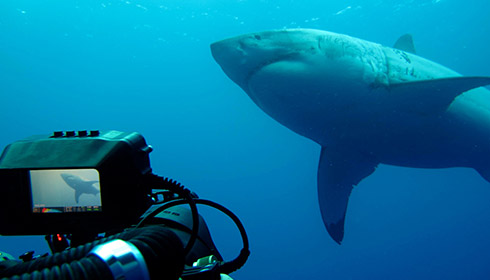 Are Guadalupe great white sharks tagged?