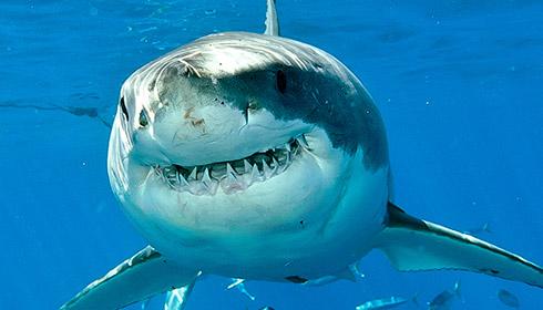 Who are the local great whites?