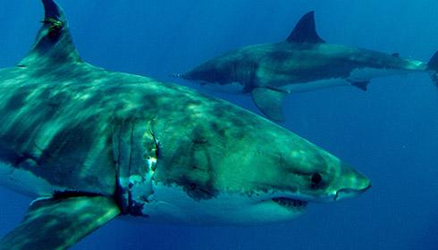 How do white sharks reproduce?