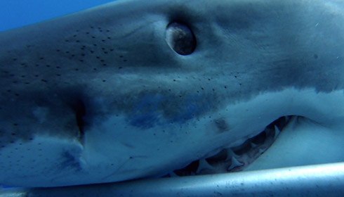 How many great white sharks are there?