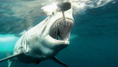 What do white sharks eat?
