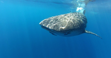 Whale sharks at Guadalupe!