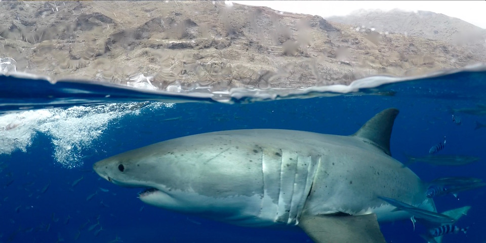 2017 Guadalupe Island season review