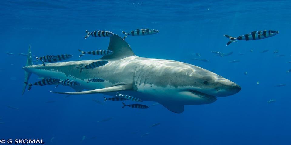 The Legend – Shark of the season 2017